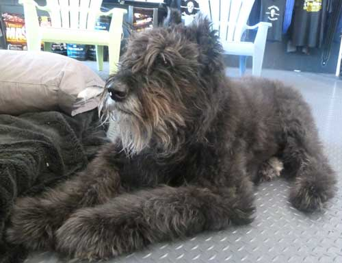 Kuma is 13 years old Bouvier des Flandres dog
